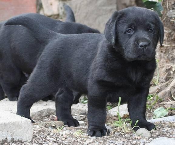 Cutest Labrador Puppies Google Search Black Labrador Puppy Labrador Puppies For Sale Labrador Puppy