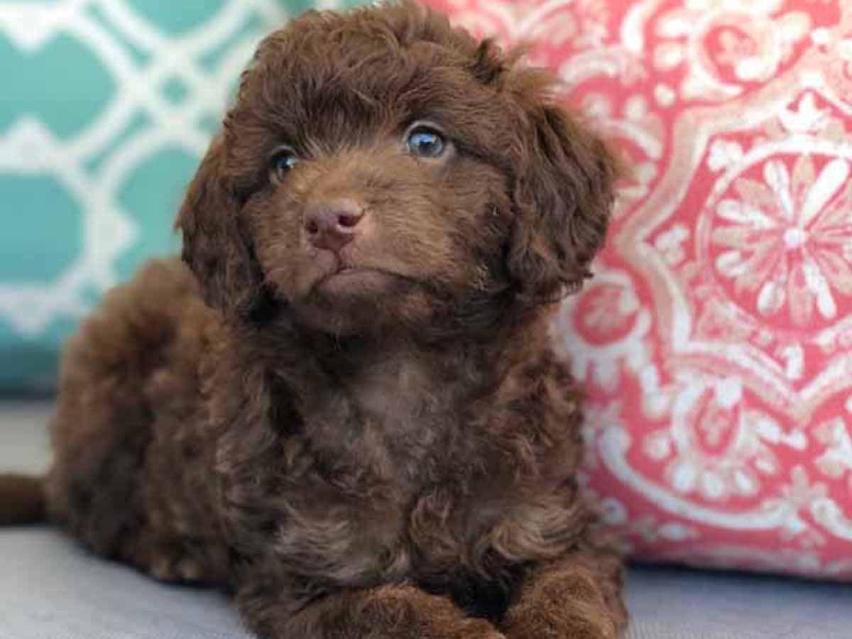 Teacup Labradoodle Mini Labradoodle Puppies For Sale Black