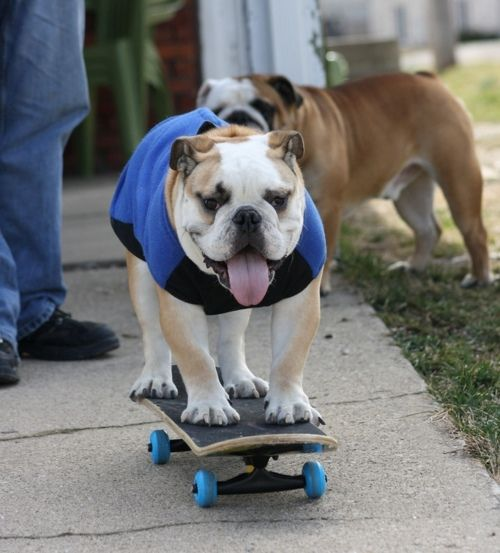 Who Doesnt Want A Skateboarding Bulldog Dogs Puppies Dogs