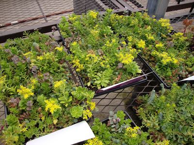And Then I Was Hit In The Head By A Cucumber Sedum Ground Cover Garden Tiles Ground Cover