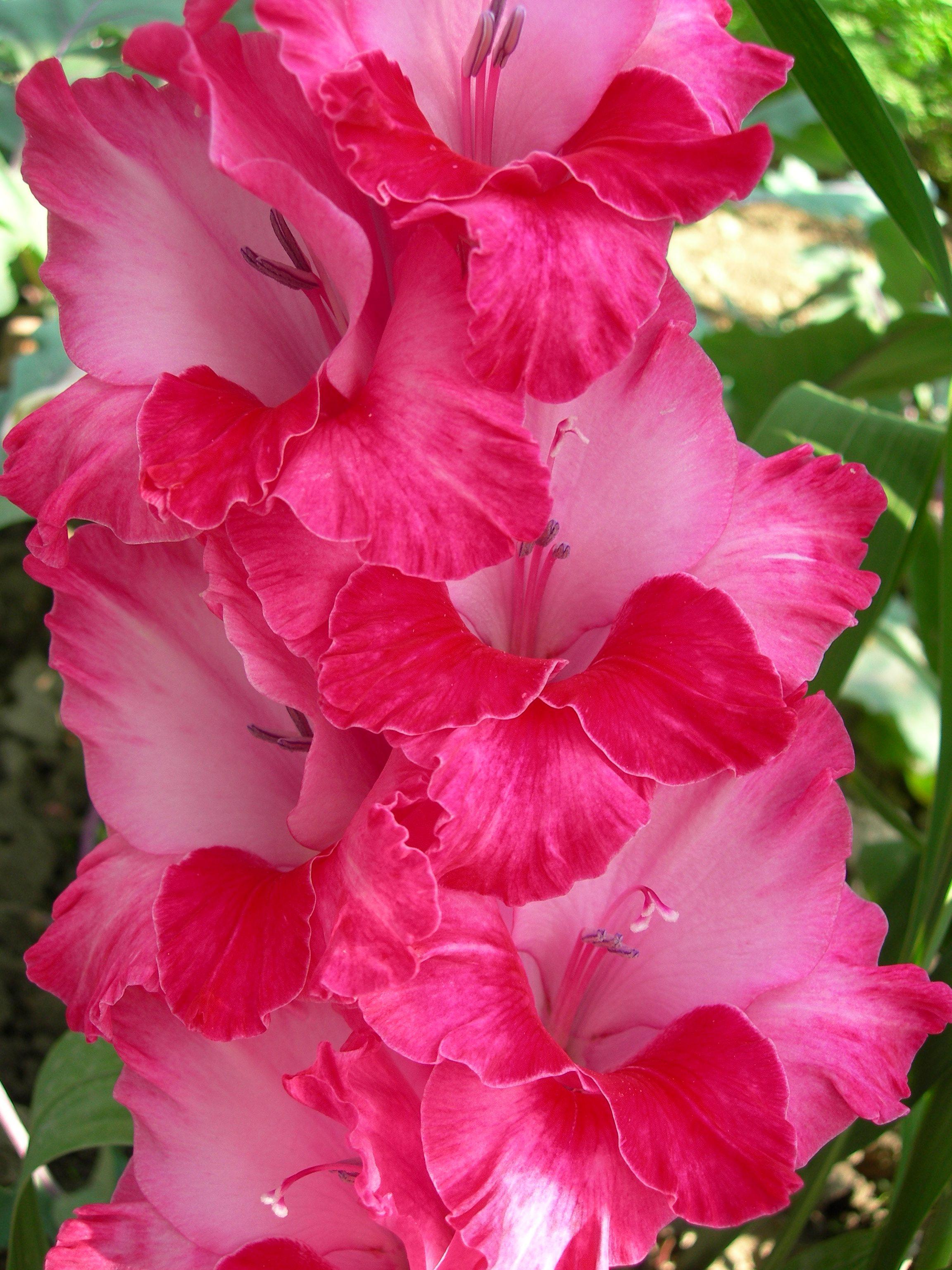 Gladiolus Cvety Na Rozhdenie Gladiolusy Cvetok Gladiolus