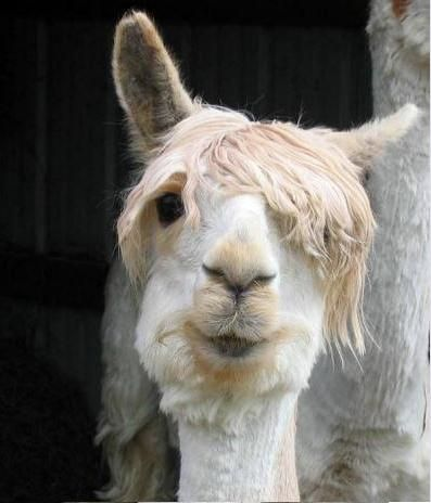 There Are Many People In My Neighborhood Who Resemble This Lama Overgrown Hair Facial Hair Disaster And I Am Su Lustig Aussehende Tiere Lustiges Lama Tiere