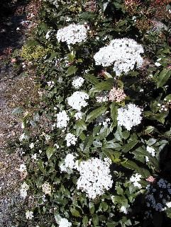 Laurestinus   6-12' tall, 3-5' wide. Good privacy hedge - evergreen.  The winner for my sideyard privacy hedge!