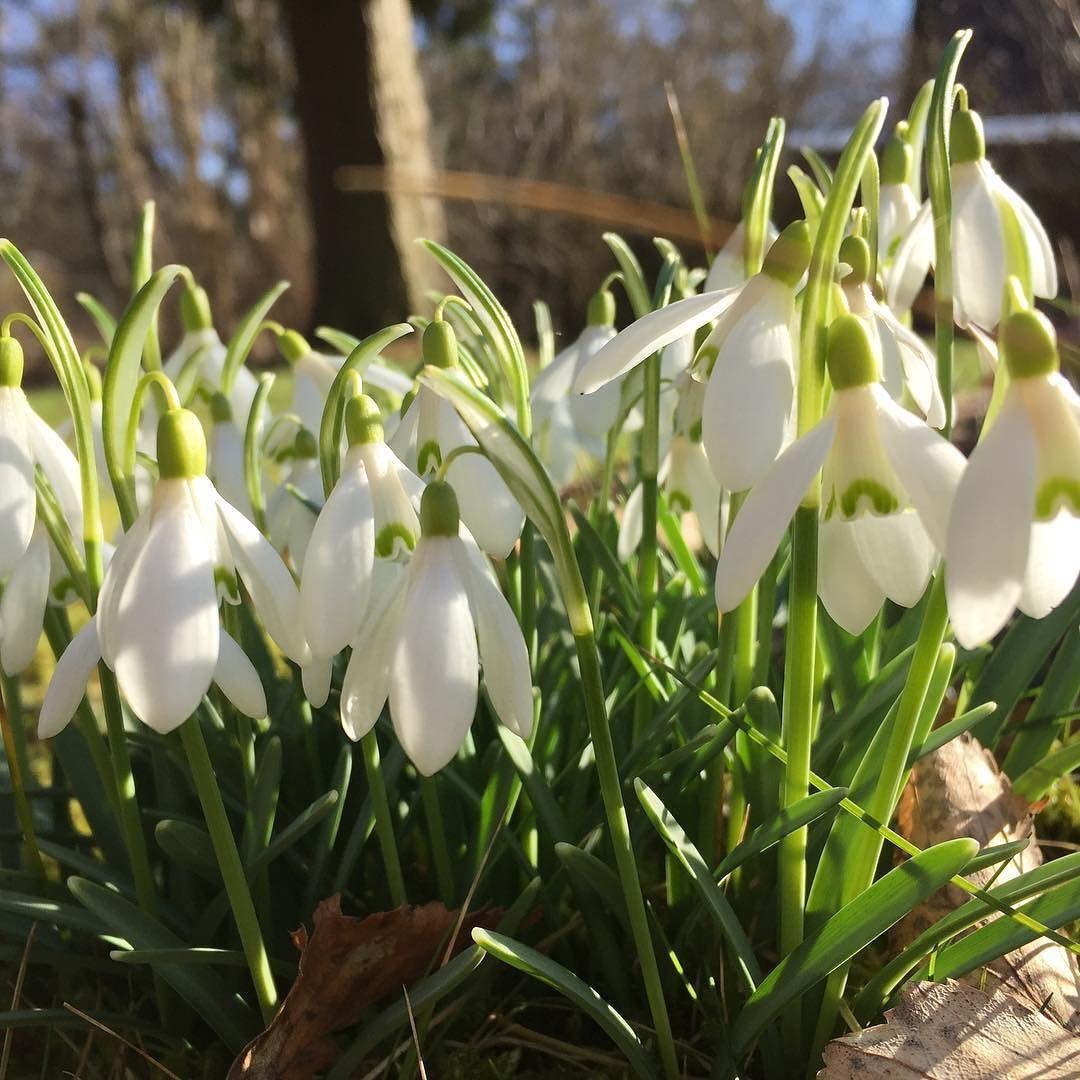 Forår i min have#webshop #forår  #danmark #havevandring #vintergækker