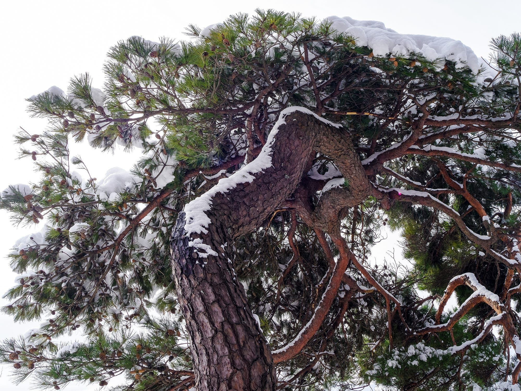 Snow on pine tree (South Korea) by Red Sun kim on 500px