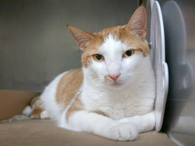 NAPOLEON - A1117303 - - Manhattan  *** TO BE DESTROYED 07/08/17 *** FIV POSITIVE!!  NAPOLEON is a 3 yr old neutered kitty whose owner did not want him any longer so they called police to bring him in to the shelter. Napoleon is not happy and needs someone to give him a new home.  He is a big boy at 20 lbs and will need some weight loss help by managing his diet. -  Click for info & Current Status: http://nyccats.urgentpodr.org/napoleon-a1117303/