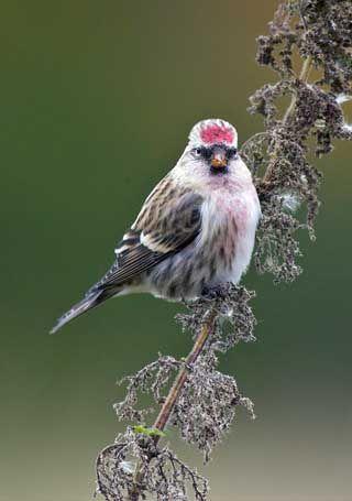 Birkenzeisig, Carduelis flammea - Vögel - NatureGate #einheimischepflanzen