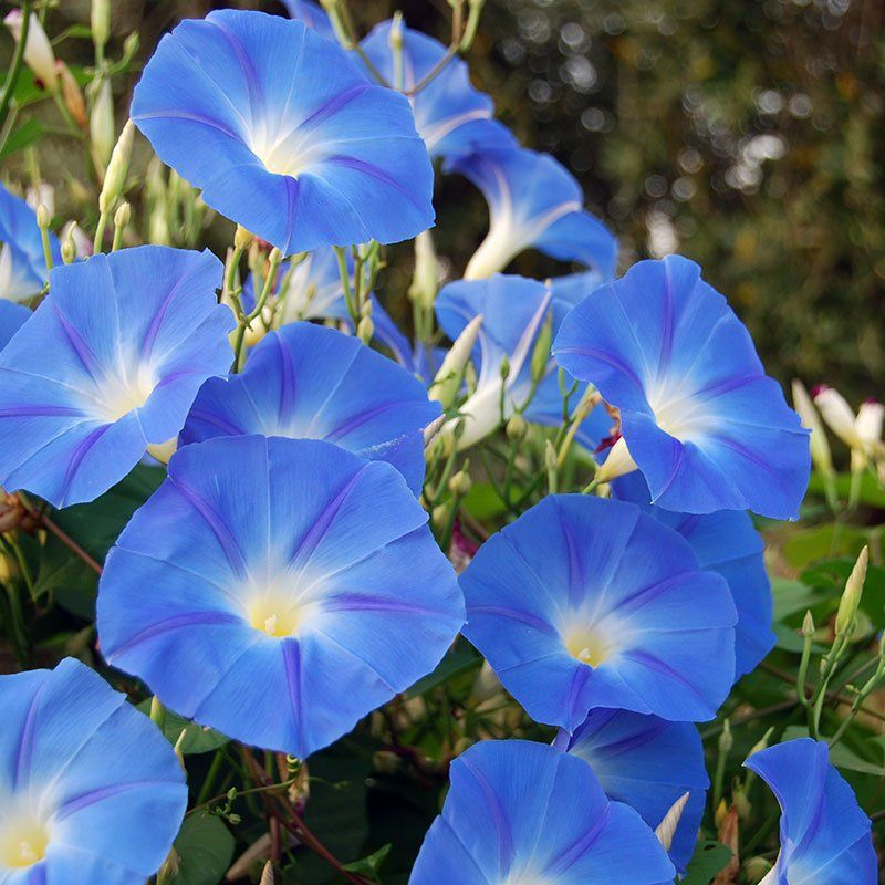 Morning Glory Seeds Heavenly Blue Morning glory seeds