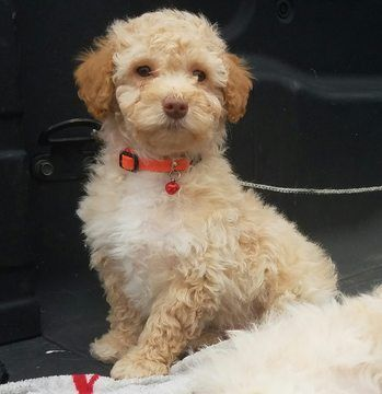 Poodle Miniature Puppy For Sale In Killeen Tx Adn 24671 On