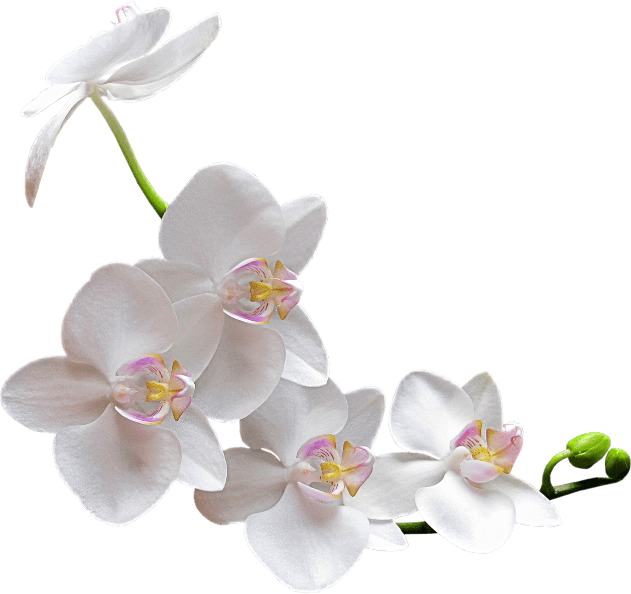 Image result for white orchid transparent png Orchids