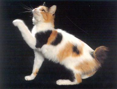 dog cat japanese bobtail
