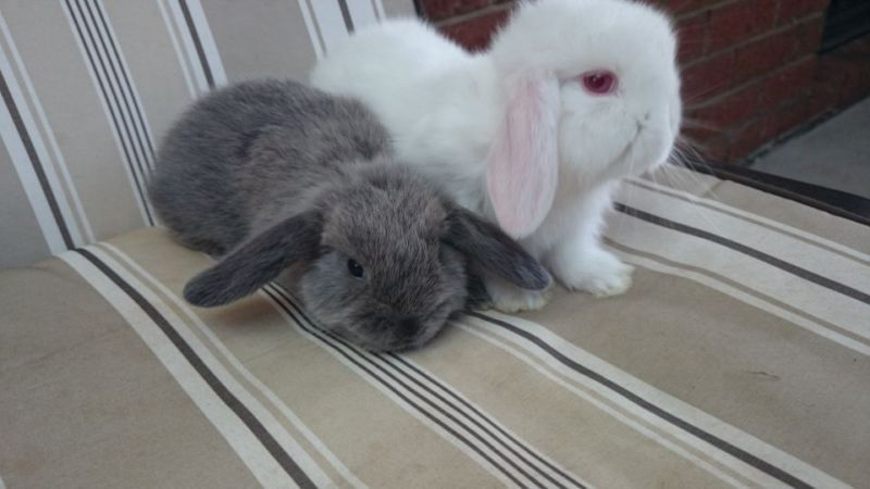 Both female Mini lop rabbit kits Rabbits Gumtree