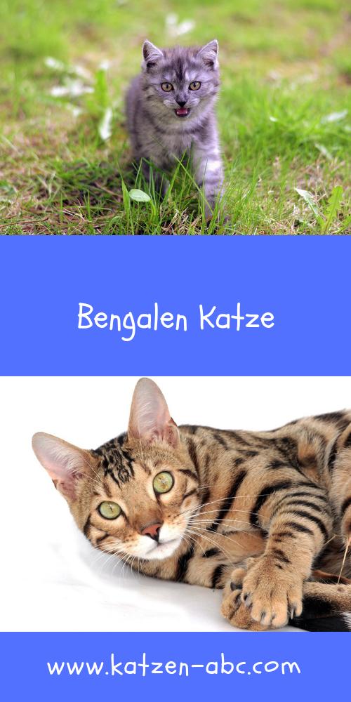 Bengalen Katze Selbstbewusst Und Lebhaft Allgemeine Infos Katzen Katzenrassen Bengalen