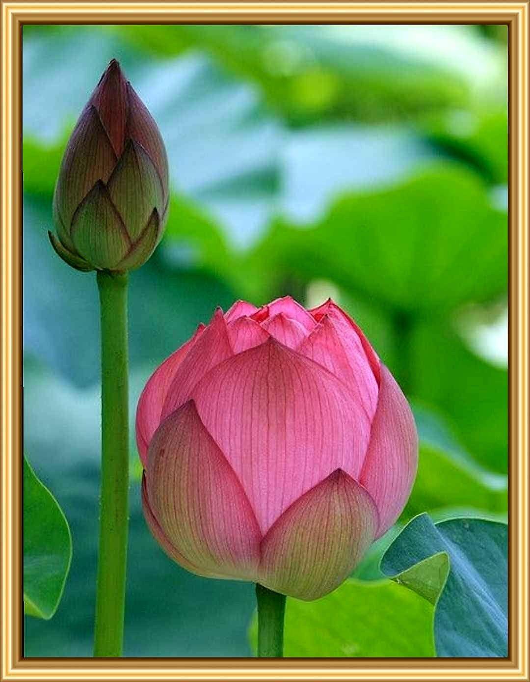Pin by suthaporn ammy kaewthong on 1 flowers ff pinterest lotus the top 3 questions i regularly get asked are how much do you charge for coaching under specific circumstances and my availabilit izmirmasajfo