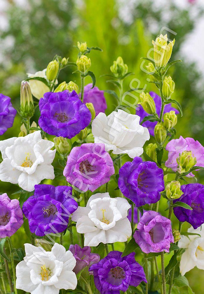 Dzwonek Ogrodowy To Roslina Ozdobna Nadajaca Uroku Wszystkim Rabatom Ksztalt Oraz Kolor Kwiatostanow Dzwonkow Ogrodowych Przyciaga Wzrok Plants Flowers Rose