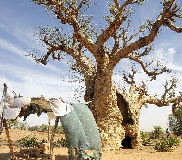 Reizen door Afrika en Gambia, en onder andere deze baobap boom bekijken | Lees verder op www.wearetravellers.nl/afrika/gambia