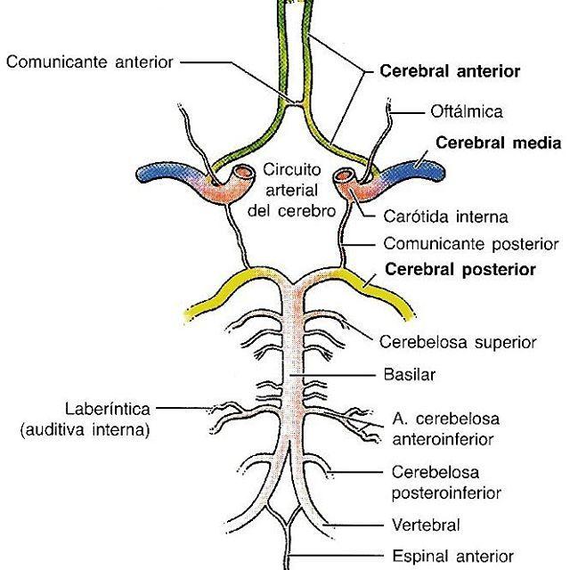 POLÍGONO DE WILLIS La anastomosis entre las arterias carótidas ...