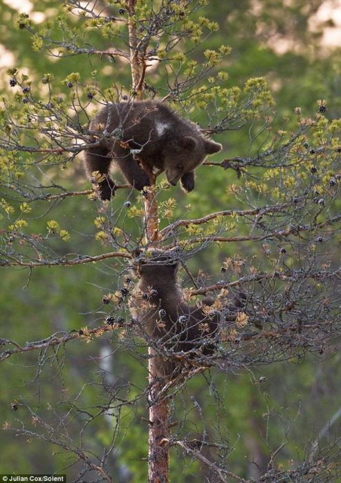 These  two bear cubs continue their sparring in the upper branches of a pine tree.