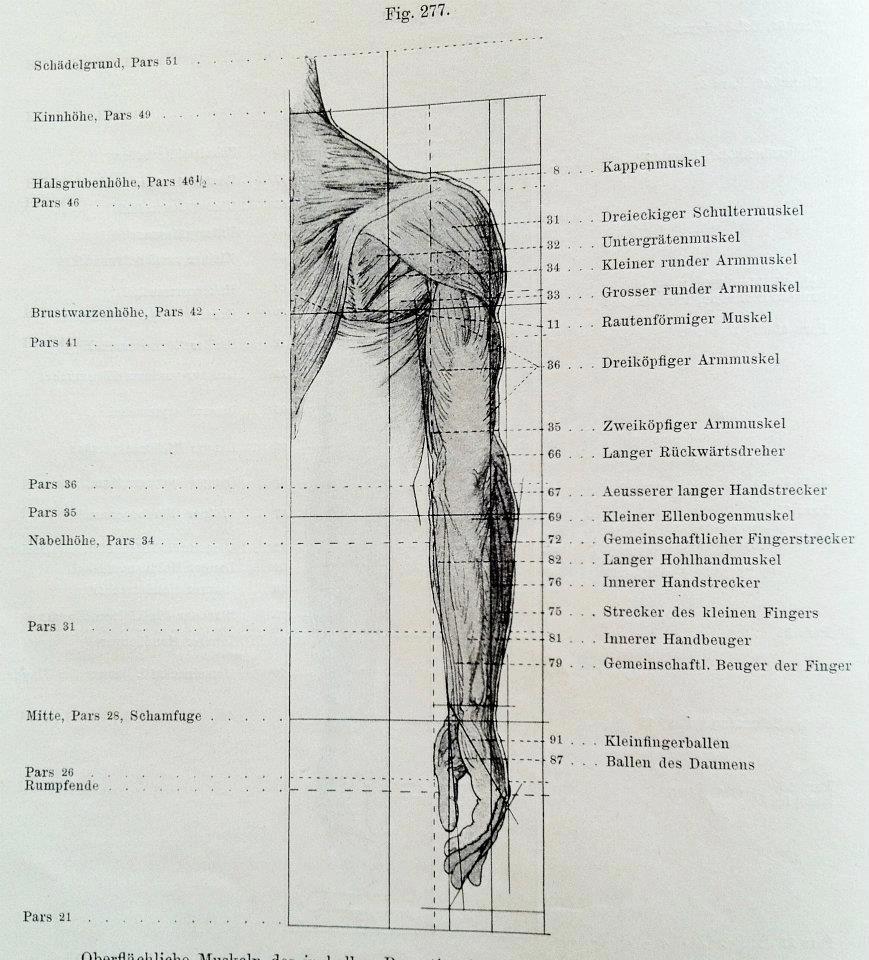 Großartig Arm Und Schultermuskeln Galerie - Menschliche Anatomie ...