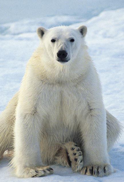 Polar bear polar bears pinterest polar bear bears and animal polar bear voltagebd Images