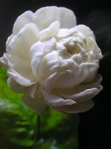 Native to hawaii the pikake is a delicate exquisite jasmine flower native to hawaii the pikake is a delicate exquisite jasmine flower mightylinksfo Image collections