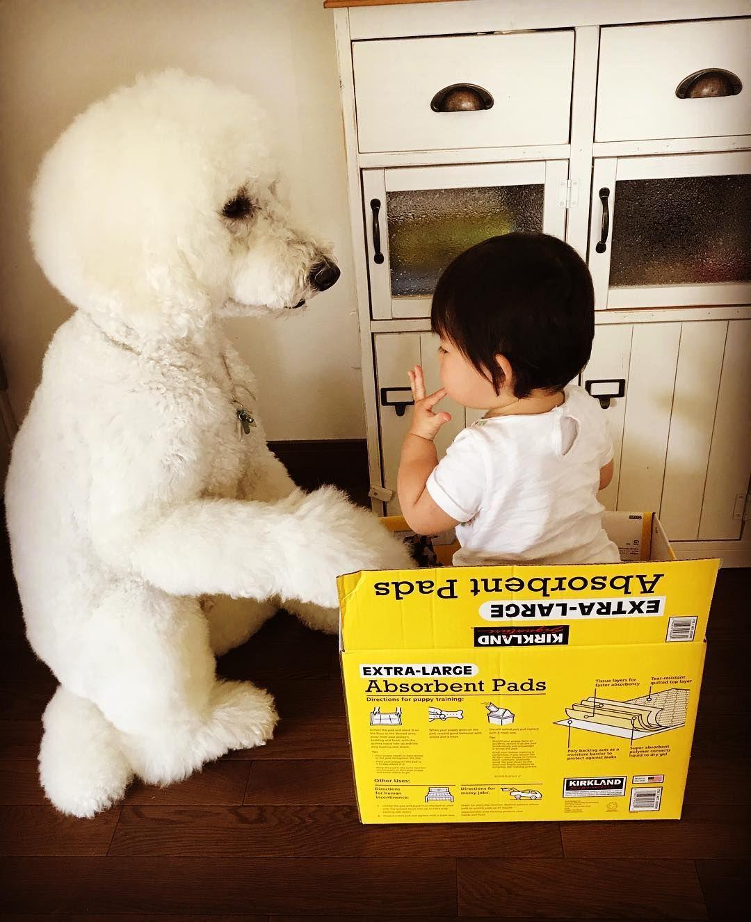 ペットシートの空き箱大人気 笑 俺も中に入れてよ Standardpoodle Poodlesofinstagram スタンダードプードル Whitepoodle いぬすたぐらむ 大型犬と子供 Poodle Dogstagram East Dog Ja 犬 赤ちゃん 犬 かわいい ペット