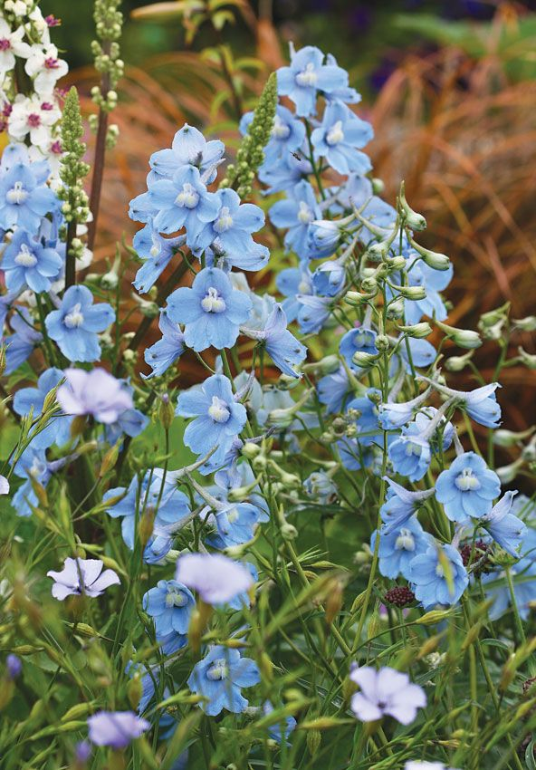 Specializing In Rare And Unusual Annual And Perennial Plants Including Cottage Garden Heirlooms And Hard To Find Ca Delphinium Flax Flowers Flowers Perennials