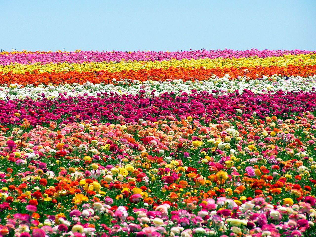 Like Walking In A Dream The Insanely Gorgeous Ranunculus Fields Of Carlsbad Ca Flower Field Carlsbad Flower Fields Amazing Flowers