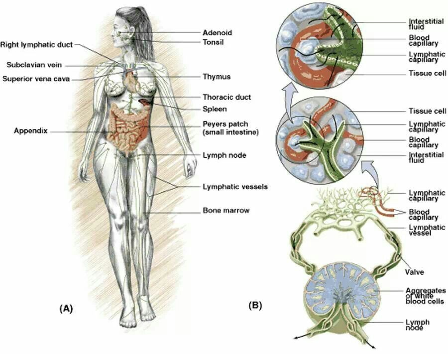 Lymphatic System | Massage Therapy | Pinterest | Lymphatic system