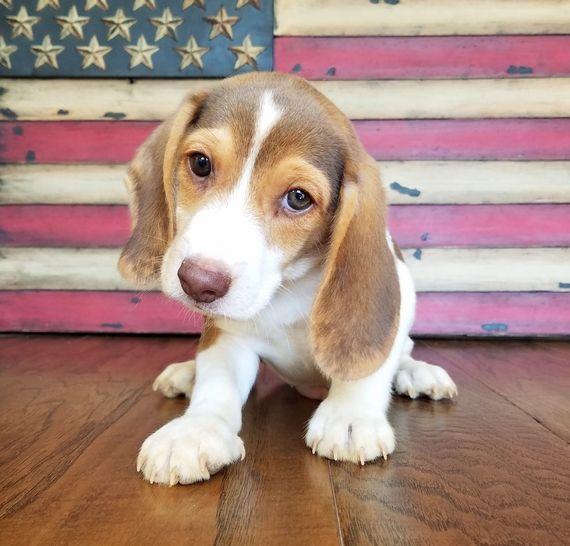Charley Beagle Puppy 568111 Puppyspot Beagle Pinterest