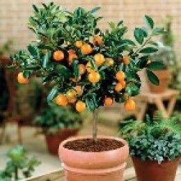 How To Grow Citrus Trees Indoors Dream Garden The Farm