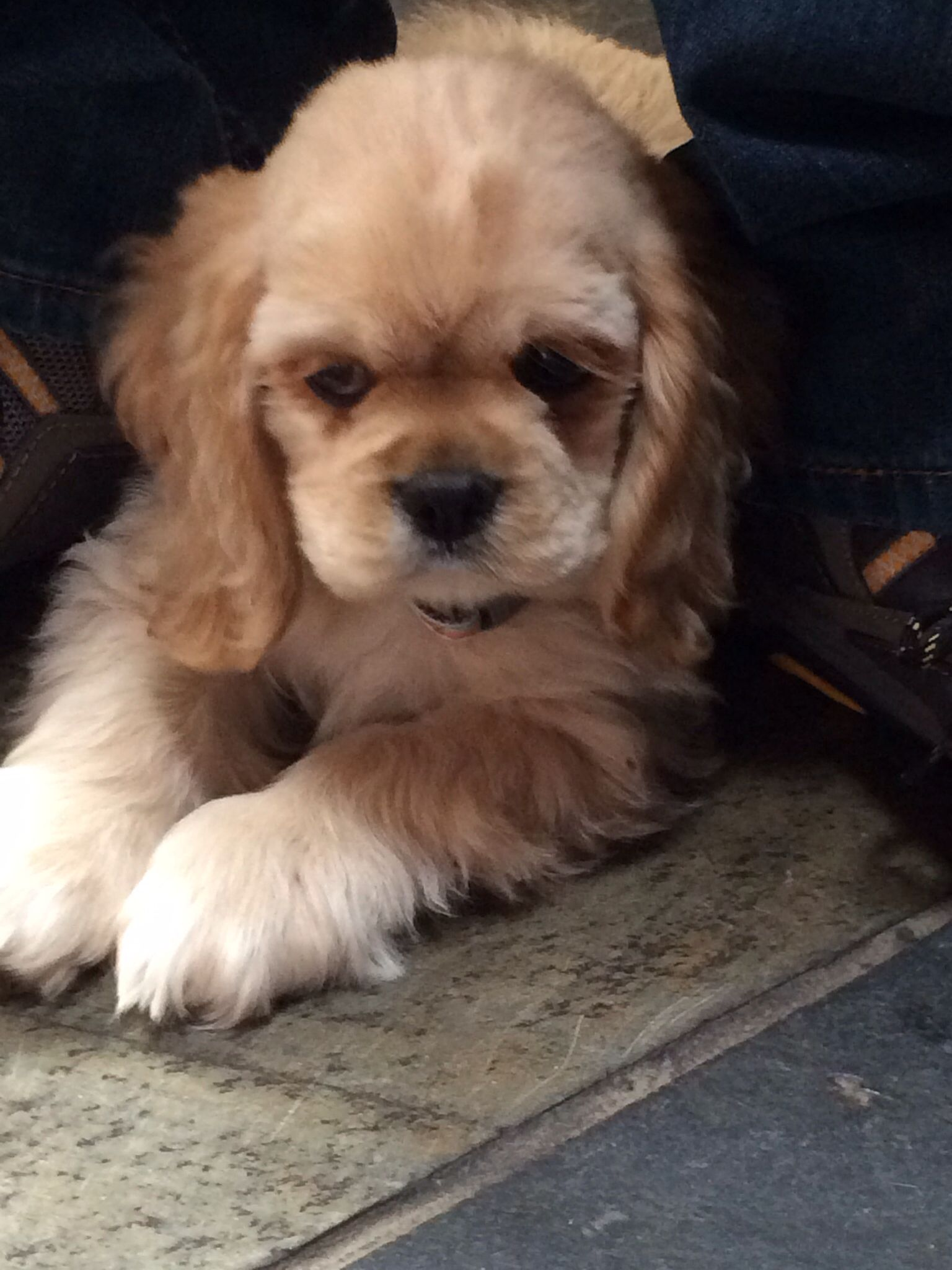 Lillygrace 8 Weeks Old Dn Cute Animals I Love Dogs American Cocker Spaniel