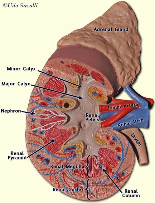 Kidney Model Anatomy And Physiology Anatomy Physiology