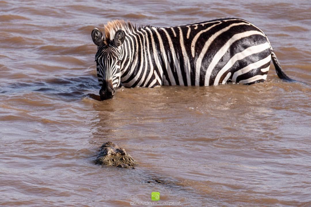 19++ Animal with zebra legs ideas