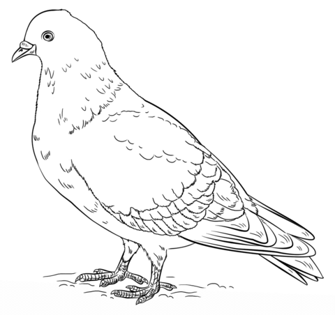 Rock Pigeon coloring page from Pigeons category Select
