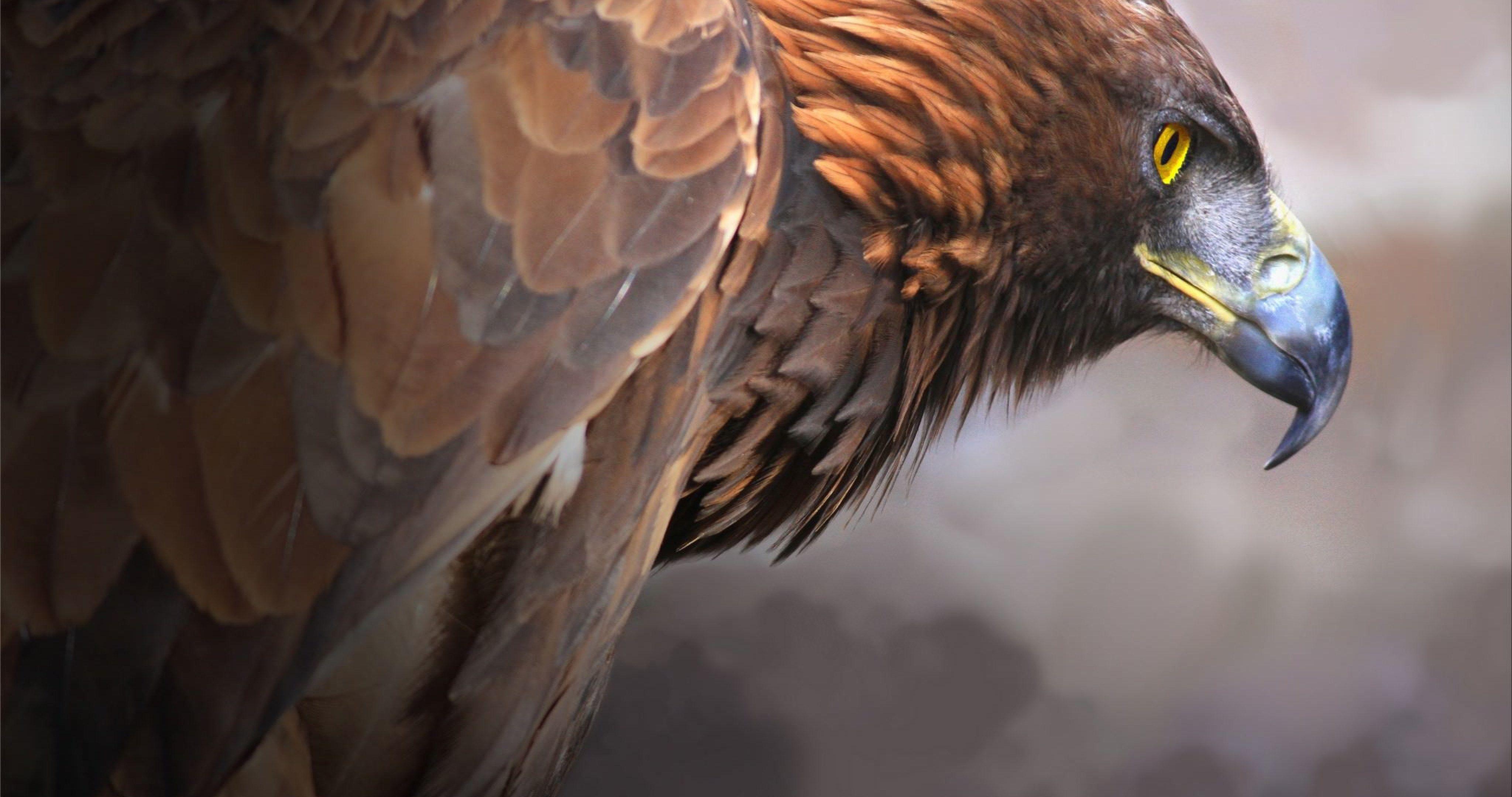 Hd wallpaper eagle - Golden Eagle Bird 4k Ultra Hd Wallpaper