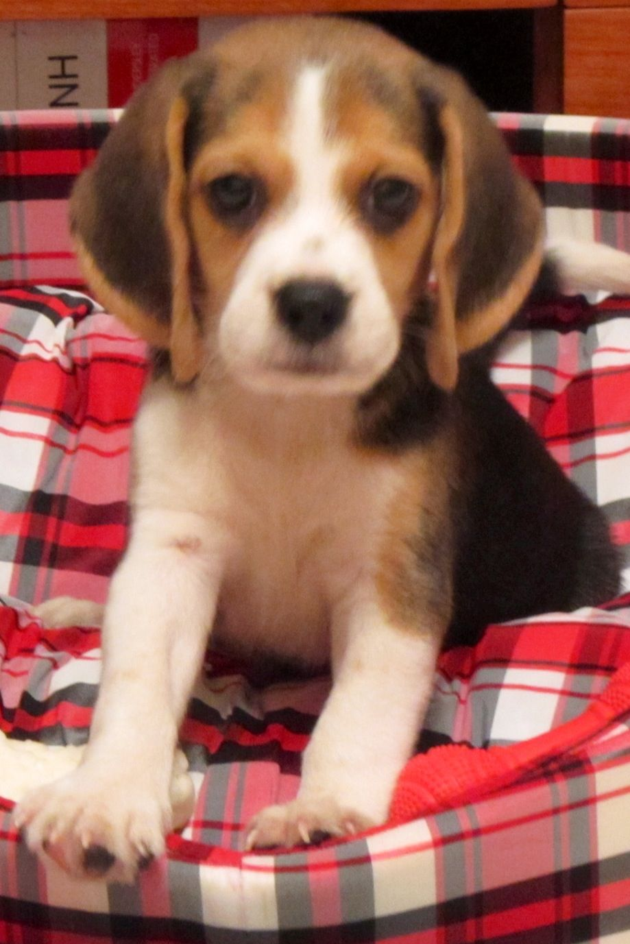 What A Cutie Beagle Puppy Cute Animals Beagle Dog