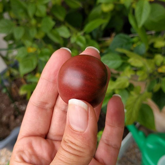 Første black cherry tomat, #hjemmedyrket! #matfrabunnen #matbloggsentralen #matblogg #fromseed #frajordtilbord #foodblogger #foodgram #hjemmelaget #frafrø #tomat #godtno #kkspis #hage #stolt
