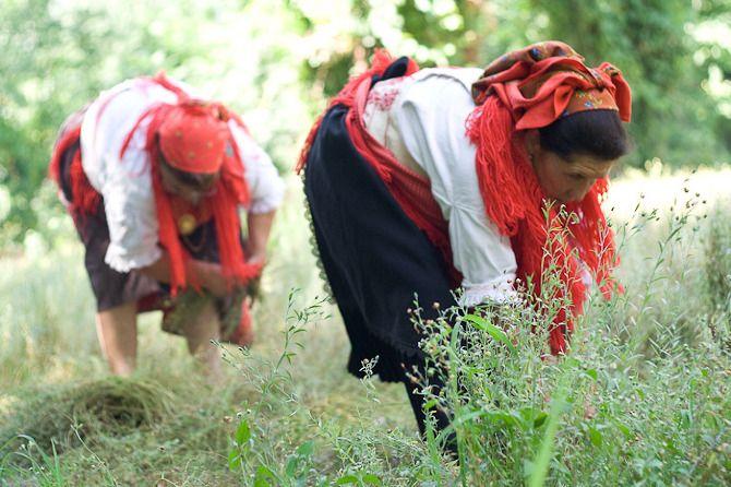 Colheita do Linho...Em Julho...A arrancada....Foto via www.saberfazer.org