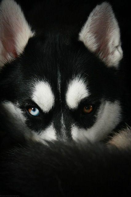 Pin By Gezzy Maglalang On Pandora S Box Cute Animals Siberian