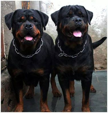 What A Handsome Pair Rotties Dogs Dog Breeds Rottweiler