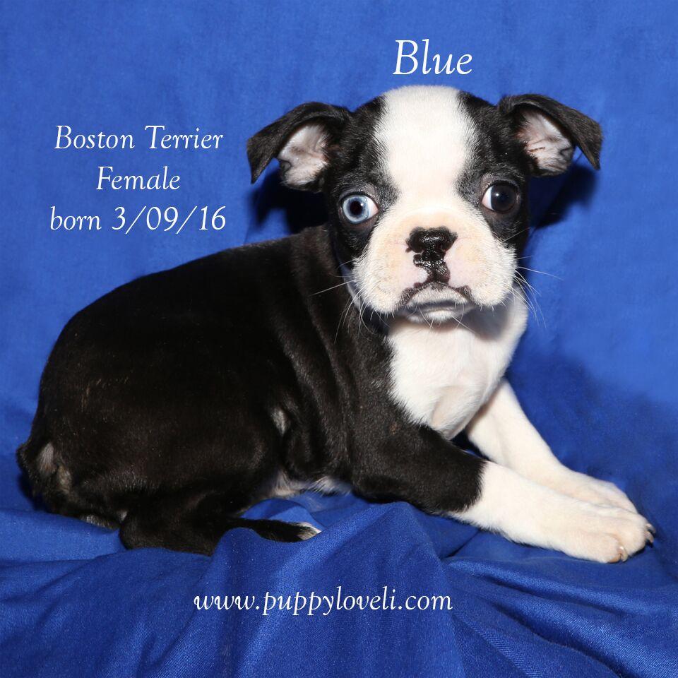 Boston terrier named blue born 03092016 boston