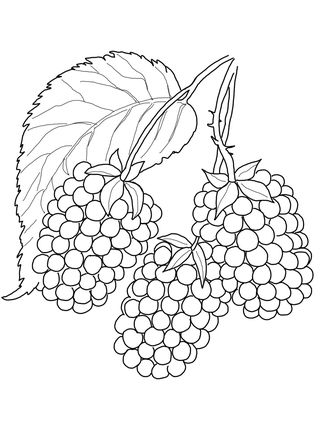 Blackberry Coloring Page Supercoloring Com Fruit Coloring Pages Coloring Pages Fruits Drawing