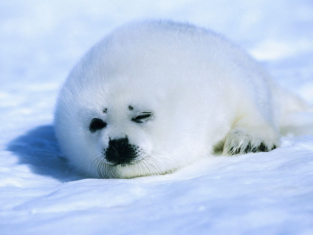 Baby Harp Seal Wallpaper Animals Planent Cute Baby Animals Cute Seals Seal Pup