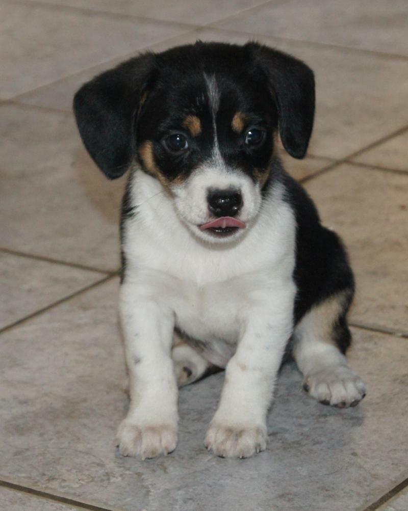 Beagle Mix with Chihuahua