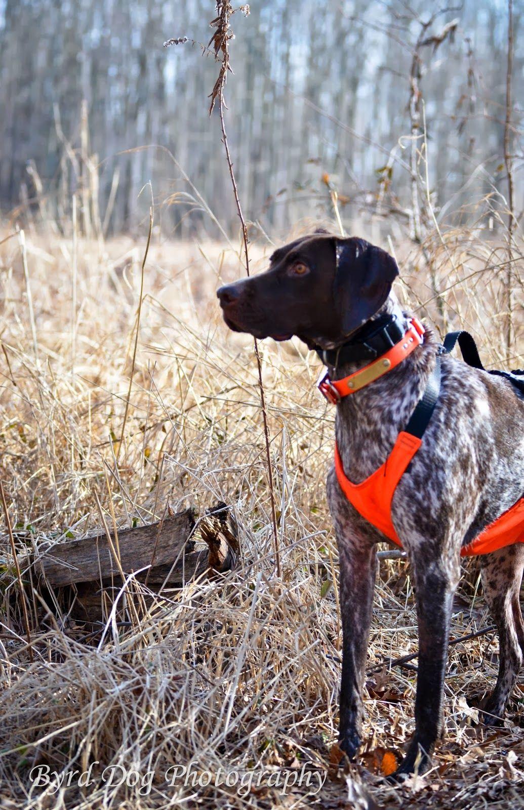 Nobelles Beautiful Cleopatra  Adventures of a GSP Hunting Dog #GSP # Germanshorthairedpointer #huntingdog #gundog #Byrddogphotography #hunting #upland #vonschonheitsGSPs