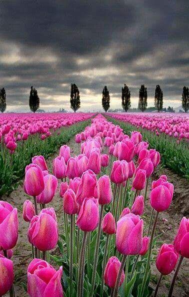 Pin Af Annesofie Gregersen Pa Paen Natur Smukke Blomster Tulipaner Blomster