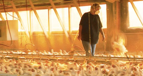 Chicken Farming Chickens Pinterest