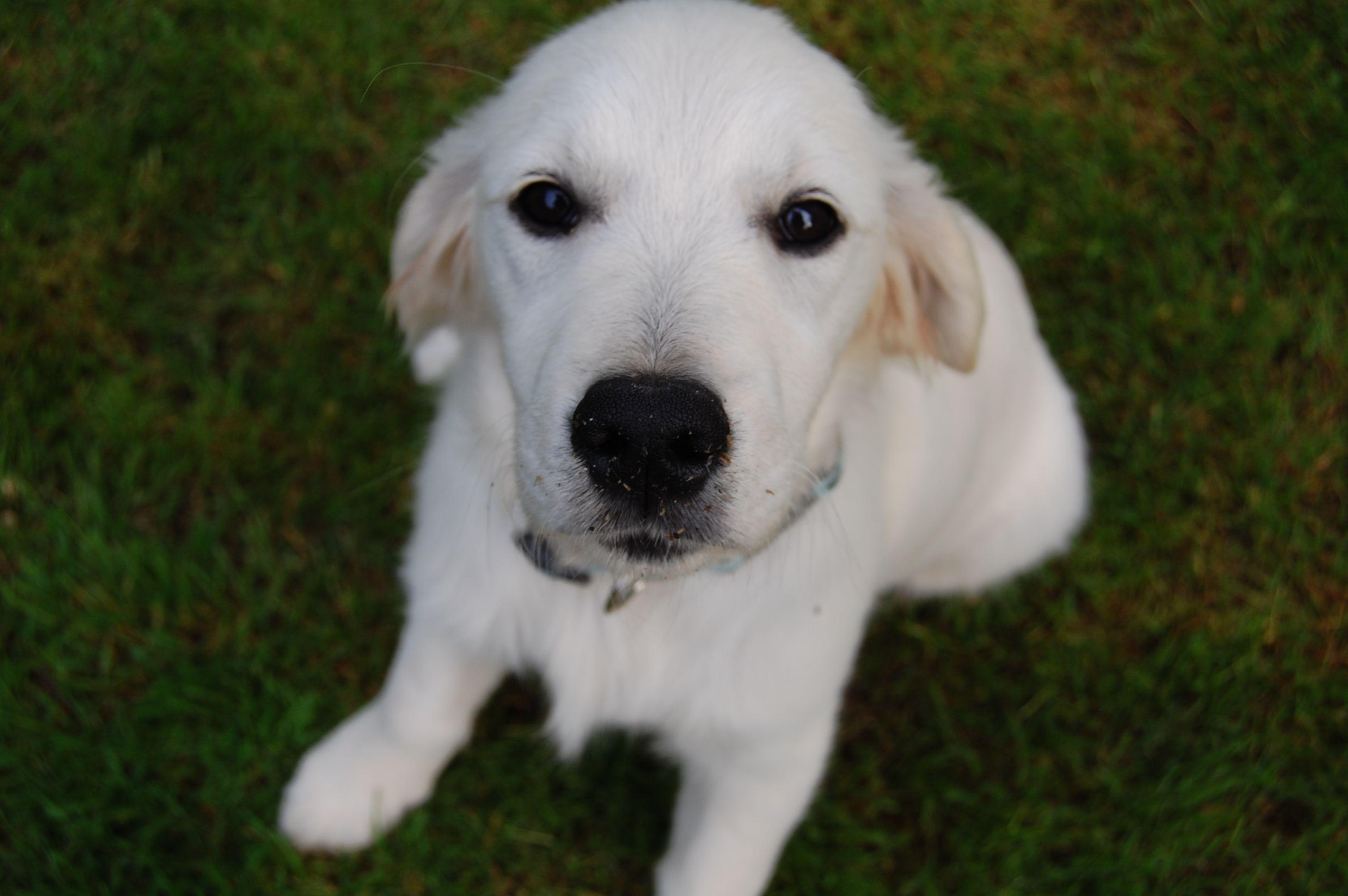 British cream retriever phoebe dog breeds retriever