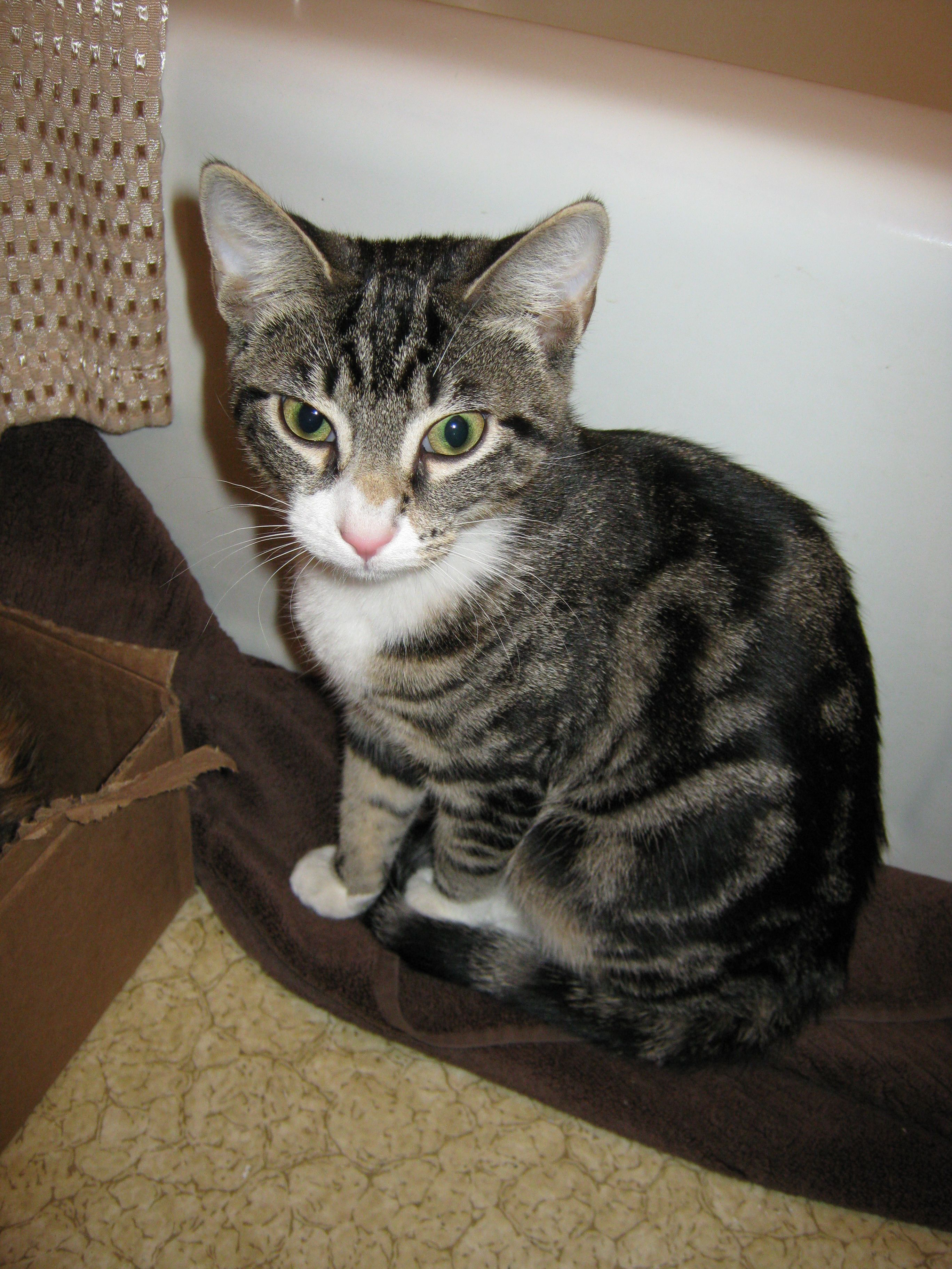 Lost Female Cat Holliston Ma I Am Looking For My Cat Who Escaped From My House In Holliston Last Week The Attached Photo Shows Her As A Cats Kitten Cat Lady